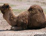 Test sobre los camellos