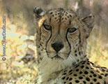 Test sobre los guepardos (1-23)