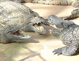 Test sobre los aligatores (1-39)