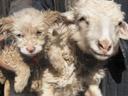 Ovejas da a luz un perro en China