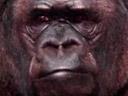 El mensaje del gorila